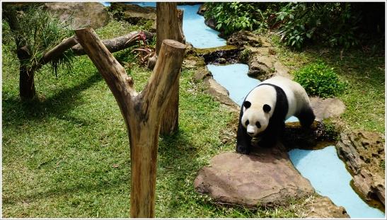 giant pandas tsb 1.JPG