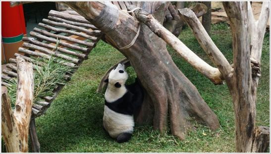 giant pandas tsb 5.JPG